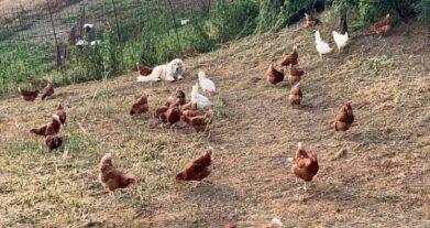 Il segreto dei nostri dolci artigianali? Uova fresche di galline allevate all'aperto